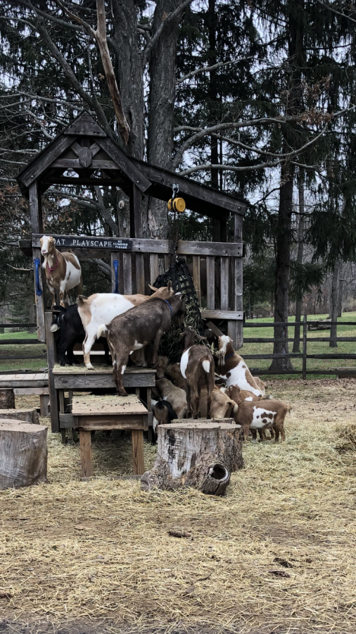 Work hard, play hard -- The goats at Bradley Mountain Farm spend hours at a time climbing the playscape in their pen. The goats milk is used for soap making classes, and the goats can be found doing goat yoga, along with many other activities the farm has to offer.