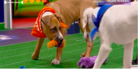 Go Fetch -- Team Ruff's Big Boss Paulie (left) faces off with an opponent from Team Fluff (right). Paulie was able to score a last minute touchdown to bring home the Puppy Bowl XVI victory.